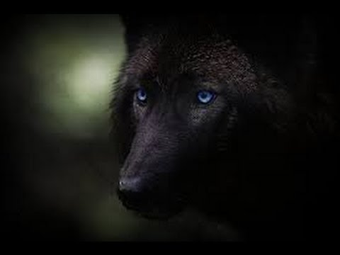 Black wolf with yellow eyes