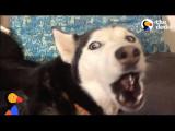 哈士奇被最愛的歌制約,即使森 77 也要合唱 (ANGRY Husky Can't Resist Singing Her Favorite Song   The Dodo) Image
