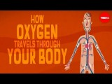 【TED-Ed】氧氣是怎麼在身體裡循環的? (How oxygen travels through your body - Enda Butler) Image