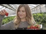 日本の苺園での一日 (A Day on a Japanese Strawberry Farm) Image
