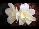 超簡單步驟,教你做出絕美巧克力花瓣 (how to make a CHOCOLATE FLOWER rose by Ann Reardon How To Cook That Chocolate) Image